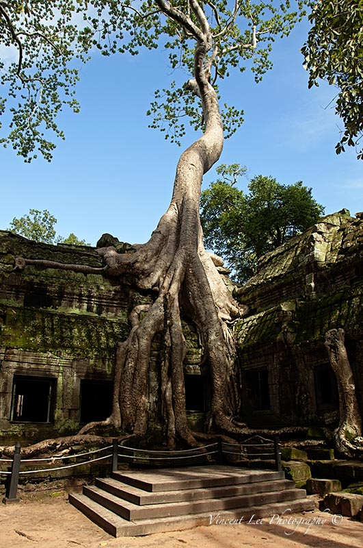 The famous tree at Ta Prohm